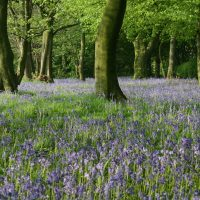 Bluebells, Shirdley Park