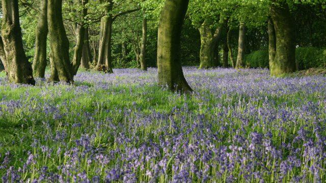 Bluebells, Shirdley Park